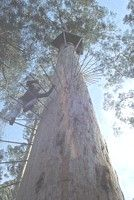 Pemberton's climbing trees - fire lookouts, constructed in the 1930s & 1940s. By 1952, 8 tree towers had been constructed & now 3 karri tree towers remain..The Gloucester Tree is 2kms from the Post Office in Pemberton - 61m high. The Dave Evans Bicentennial Tree is 15 mins from Pemberton & was first pegged in 1988 as part of Australia's bicentennial celebrations - 75m high. The Diamond Tree is 15 mins from both Manjimup & Pemberton - 51m high. It is the only wooden tree top tower in the…