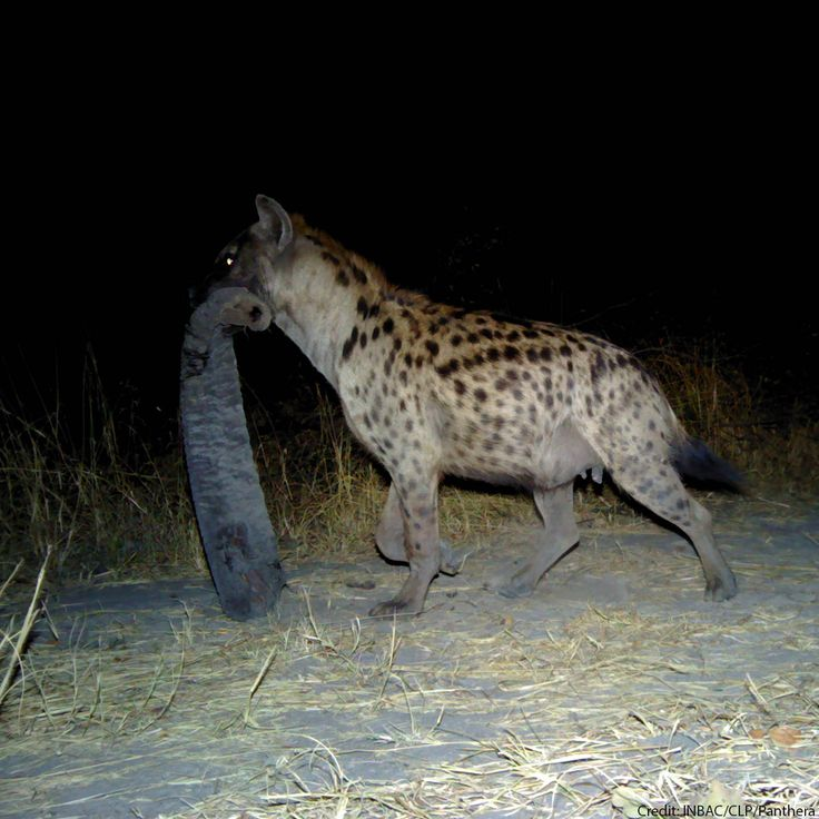 Camera traps captured this image of a hyena holding an elephant's trunk! For more images like this follow us on Instagram (our Insta handle is: faunafloraint) https://www.instagram.com/faunafloraint/