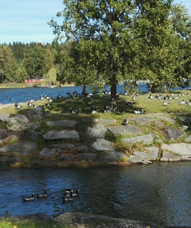 #omaisapu #järveltä #lake #lintuja #birds