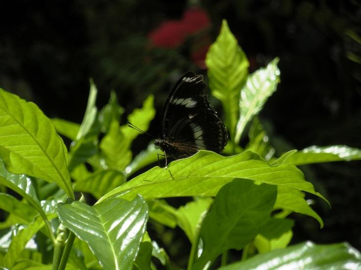 Gainesville, FL Butterfly Pavillion, June 2012