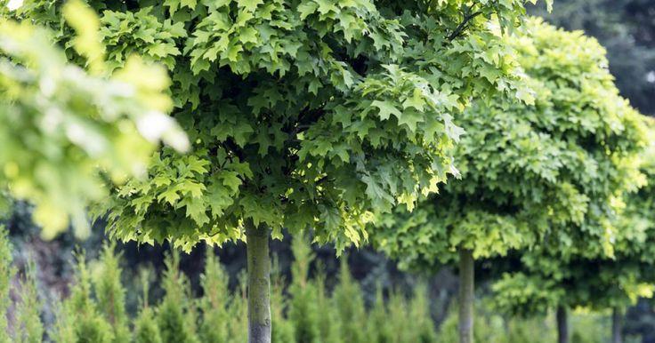 Kugelbäume: In jedem Garten ein Hingucker   Kugelbaum ...