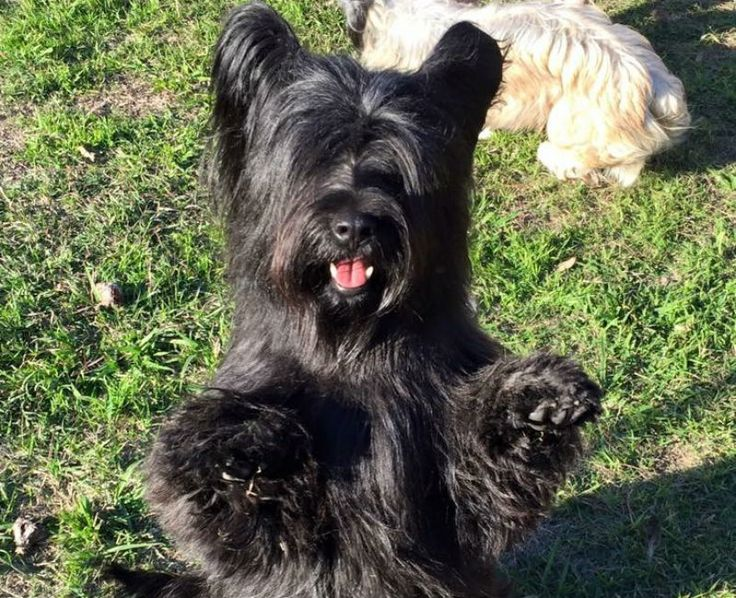 7 Things You Didn't Know About Skye Terriers - American Kennel Club