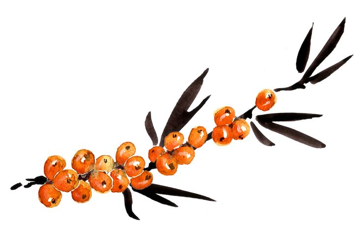 Sea buckthorn water colour and encre de chine, made by artist Stephane Lemardelée from Sutton Quebec, Canada.