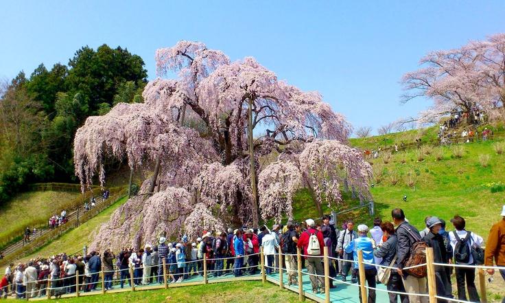 "Le Sakura a 1.000 ans, il s'appelle « Miharu no Takizakura » à Fukushima.  樹齢1,000年、福島県三春町の滝桜。  This Sakura is 1,000 years old, it's called ""Takizakura"" of Miharu in Fukushima. :)"