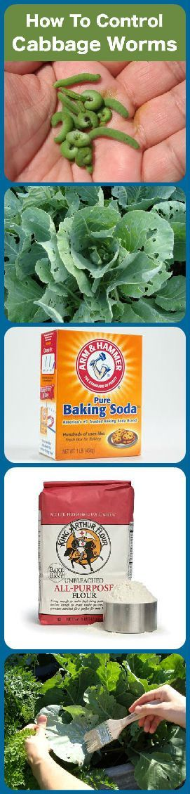 Get rid of cabbage worms naturally. Mix 50/50 baking soda and flour. Brush onto cabbage leaves. When the worms eat it they should die within a day. http://alternative-energy-gardning.blogspot.ie/2013/03/controlling-cabbage-worms.html