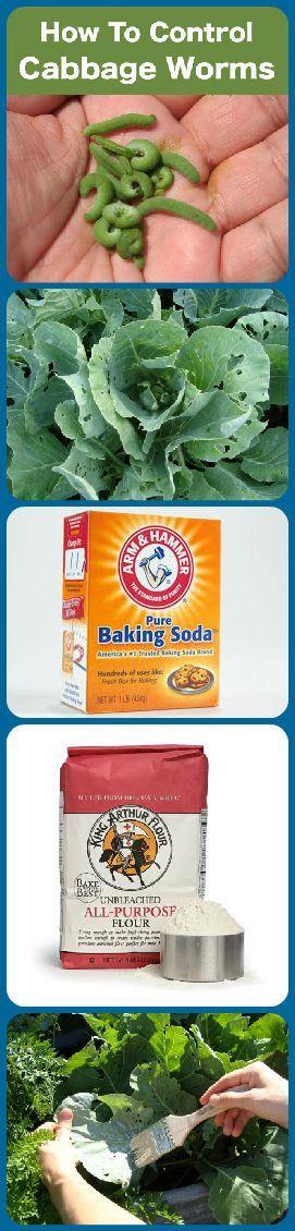 Deshágase de los gusanos de la col de forma natural. Mezclar 50/50 bicarbonato y harina. Cepille en hojas de col . Cuando los gusanos comen ellos mueren en un día