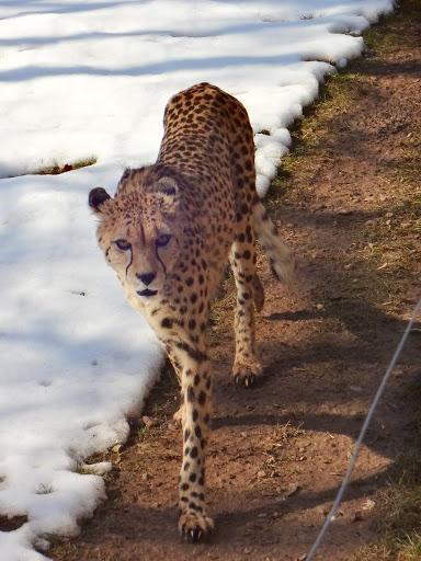 Leopard - Zoo Erfurt