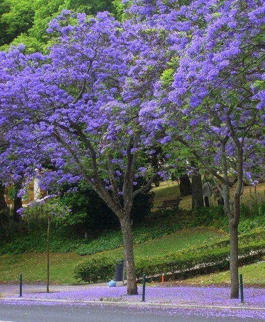 O Jacarandá Mimoso e uma árvore ornamental da família Bignoniaceae, nativa da Argentina e Bolívia. De copa rala, arredondada a irregular e folhagem delicada