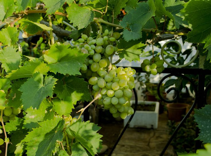 Elounde Grapes