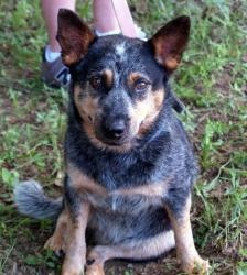 Darling Jeannie is an adoptable Australian Cattle Dog (Blue Heeler) Dog in Jackson, MS. This is little girl is a dream dog (as in 'I Dream of Jeannie'). She appears to be a full grown adult but is smaller tha...