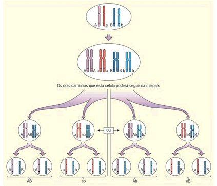 Meiose e 2ª Lei de Mendel - Só Biologia Processo de formação de gametas de uma célula de indivíduo diíbrido, relacionando-o à 2ª Lei de Mendel. Note que, durante a meiose, os homólogos se alinham em metáfase e sua separação ocorre ao acaso, em duas possibilidades igualmente viáveis. A segregação independente dos homólogos e, consequentemente, dos fatores (genes) que carregam, resulta nos genótipos AB, ab, Ab e aB.
