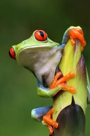 Image result for red eyed tree frog queensland