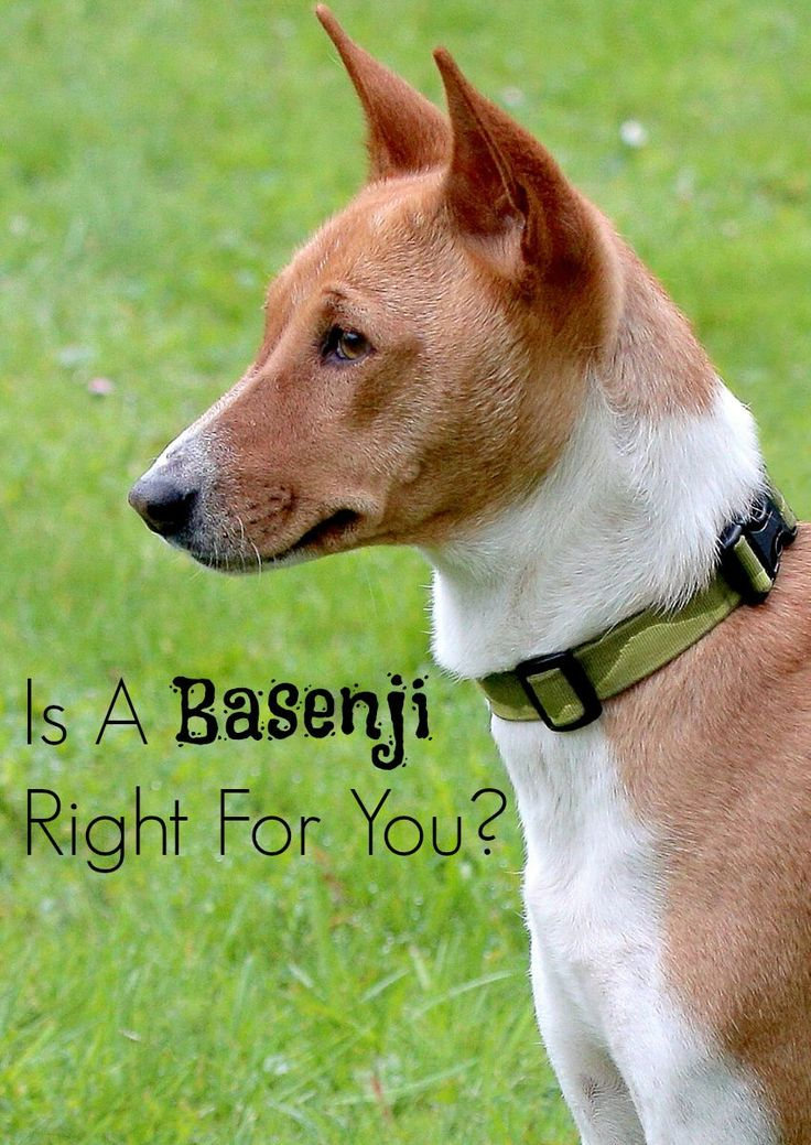 Is the Basenji the Right Hypoallergenic Dog For You