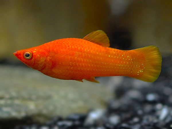 Red Molly Get It From Https Fishplace Eu Product Red Molly Price Starts From 0 70 Gbp Molly Poecilia Red Sphenops G Molly Fish Cool Fish Aquarium Fish