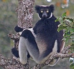 the amazing Indri, the largest extant lemur (incredibly, everyone of Madagascar's 150 or so species of terrestrial mammals are endemic!) Pete Morris