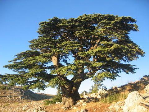 Cedar of Lebanon (Cedrus libani Loud.)  1 Kings 5:10, 2 Kings 19:23