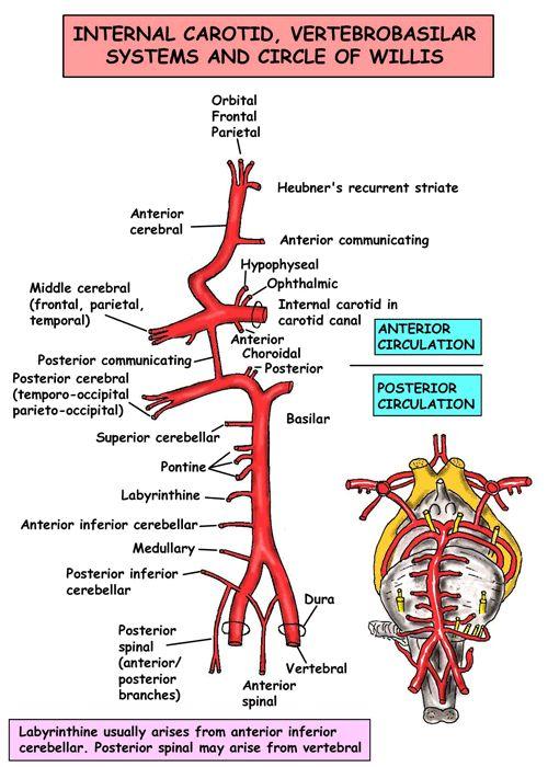 Anatomia immediata - Head and Neck - Navi - Arterie - Circolo di Willis