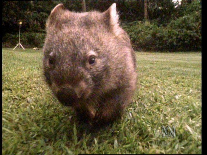 Wombat song