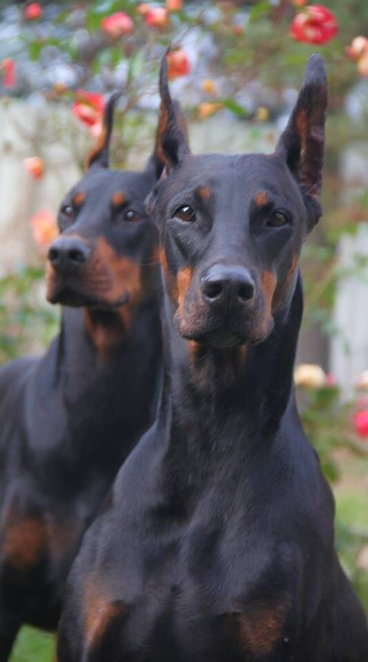 Dobermans - I've never seen anything more beautiful than this gorgeous pair