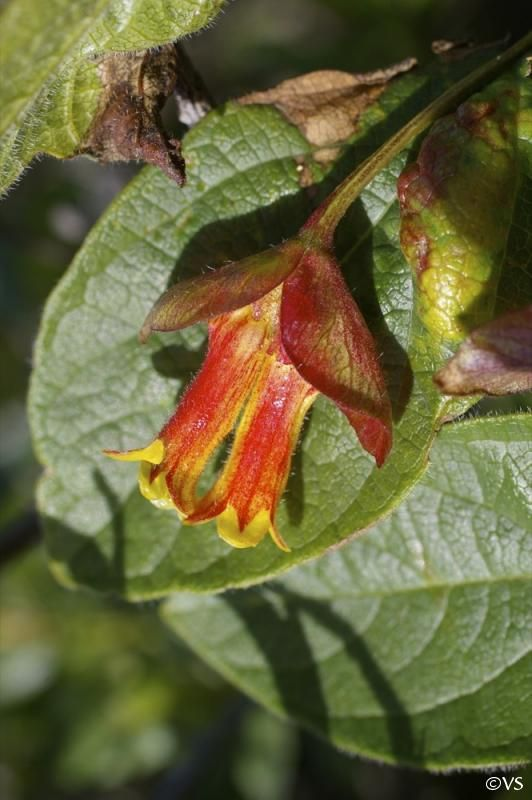 79 best images about Washington State Native Wildflowers on Pinterest | Scarlet, Washington and ...