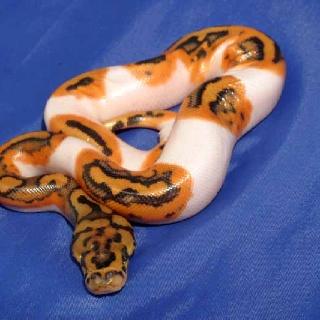 Pied clown ball python - photo#10