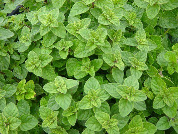 100 seeds Origanum vulgare Oregano Culinary Herb Healing properties