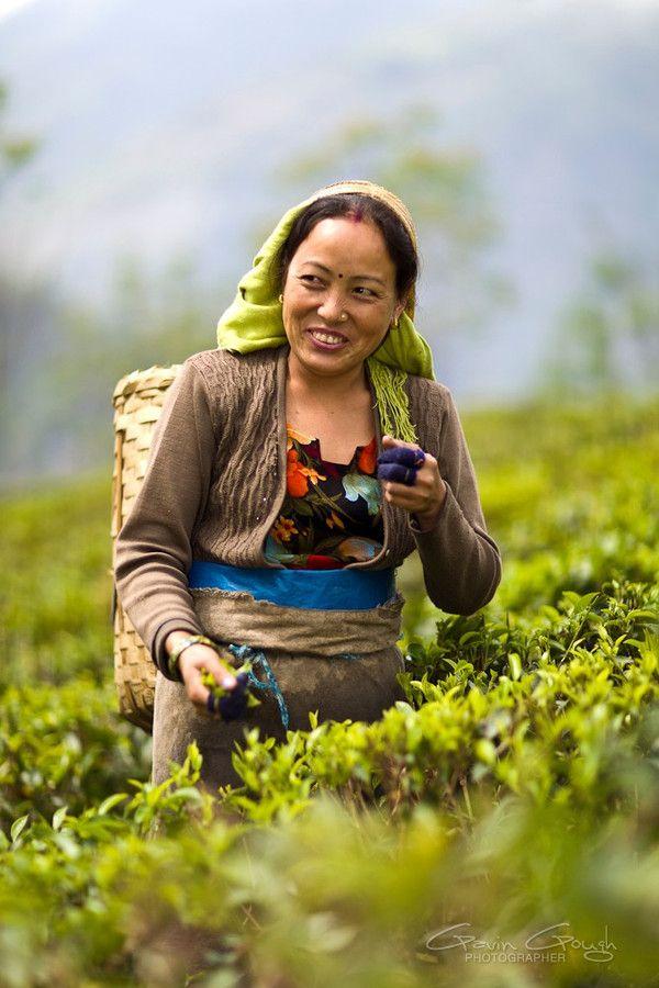 Woman Darjeeling Tea Plucker at Glenburn Tea Estate: By Gavin Gough
