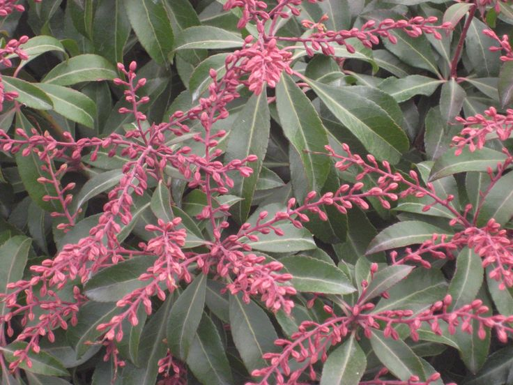 'Dorothy Wycoff' andromeda (Pieris japonica 'Dorothy Wycoff'). Photo: Willoway Nurseries