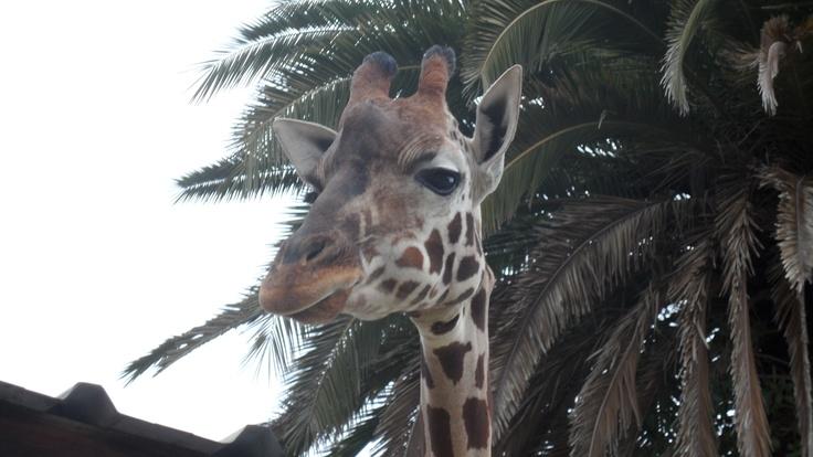 Giraffe Poser :)