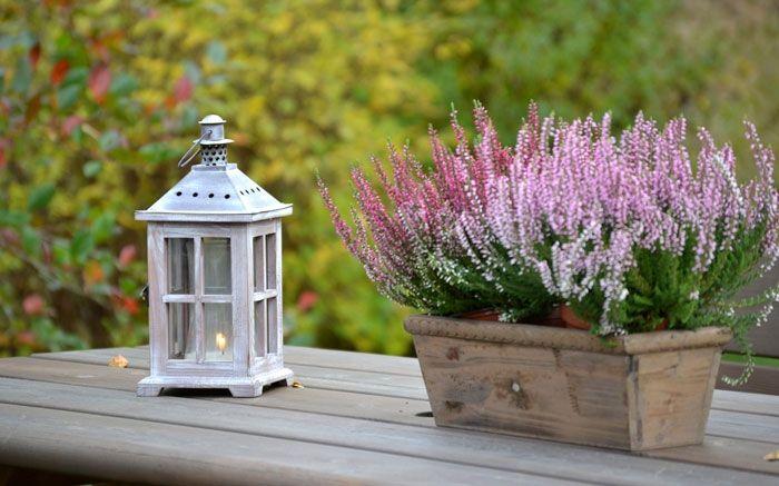 In Gärtnereien oft als Calluna angeboten, ist die Besenheide mit ihren rosafarbenen Blüten ab August bis in den Winter hinein ein wahrer Farbtupfer. Für diese Herbstblume brauchen Sie nicht unbedingt ein grosses Feld im Garten, es reichen auch Kübel, um Farbe auf Ihren Balkon oder die Terrasse zu bringen. Die Besenheide ist sehr pflegeleicht und braucht nur wenig Wasser. Sowohl ausgepflanzt als auch im Gefäss ist die Besenheide bestens gegen den Winter gewappnet. Die farbigen Knospen blühen…