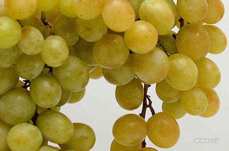 Kiść winigron na nalewkę (fot. Wojciech Medyński). Przepis na nalewkę jest dostępny na stronie http://winsko.eu/nalewka-winogronowa/. #przepisy #nalewki #kuchnia