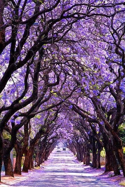 Jacaranda Tree Tunnel, Sydney, Australia...bloom in October and November