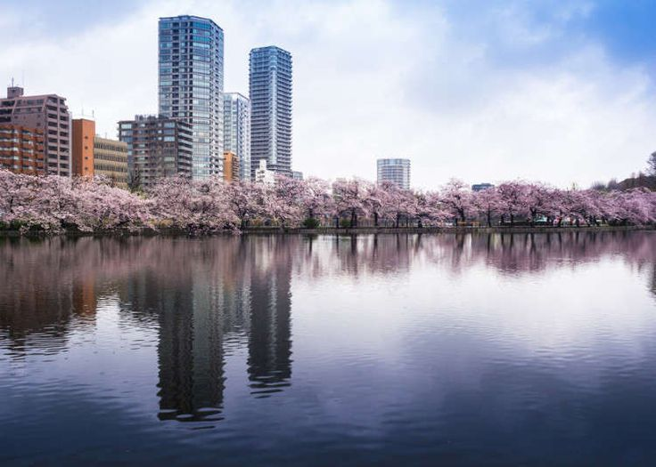 Cherry blossoms in full bloom go hand in hand with spring in Japan. Let us introduce you to some of Tokyo's most famous cherry blossom viewing spots where you can see the whole area covered in pale pink.