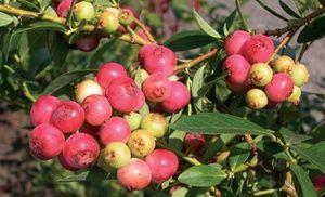 https://www.groupon.com/deals/gg-pink-lemonade-blueberry-plant