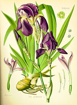 Many botanical illustrations are suitable for framing.