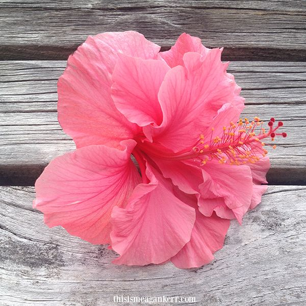 Pink Double Hibiscus Flower