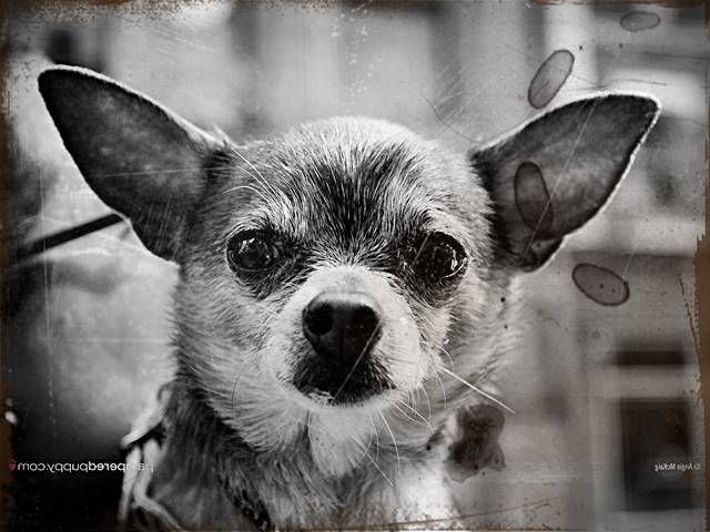 chihuahua puppies for sale in sc best 20 chihuahua puppies for sale ideas on pinterest 6672