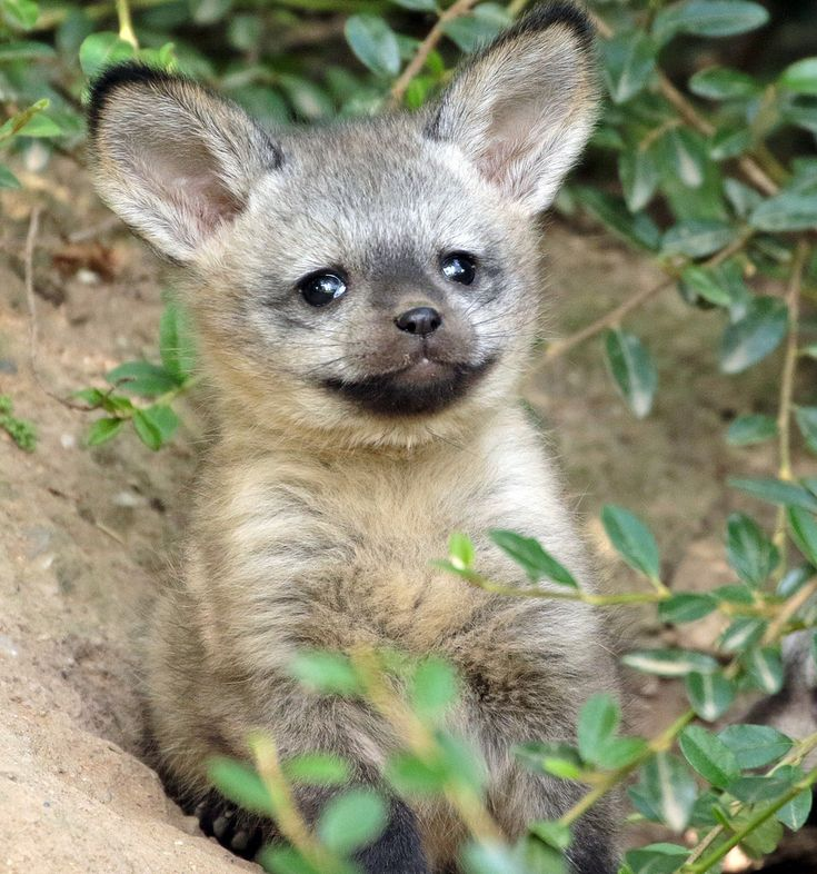 Corsac fox | Fox, Desert fox, Wild dogs