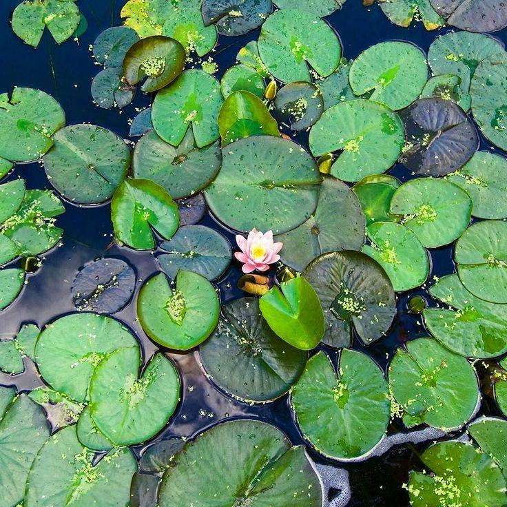 Ensam är stark! #näckrosor #blomma #guldkannan #guldvatten #ensam #vattenkanna #vatten #vacker #beautiful #flowers #gödsel #ekologiskt #nature #nature_perfection #naturelover