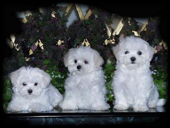25 Best Cute Puppy Wallpaper Ideas On Pinterest Pets