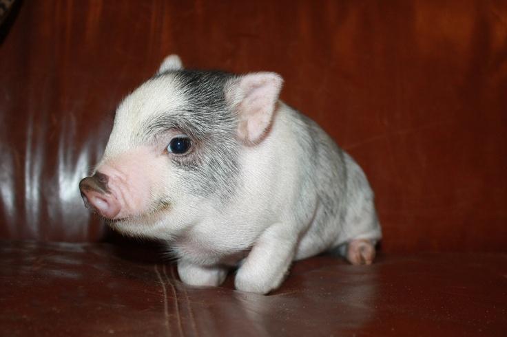 Kune Kune Mini Pig