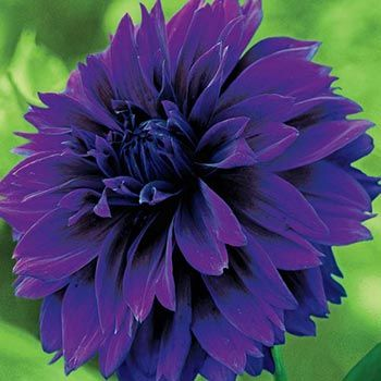 """A Breck's® Exclusive! Velvety, rich purple blooms up to 6"""" across. Strong, tall stems impress in the garden and bouquets."""