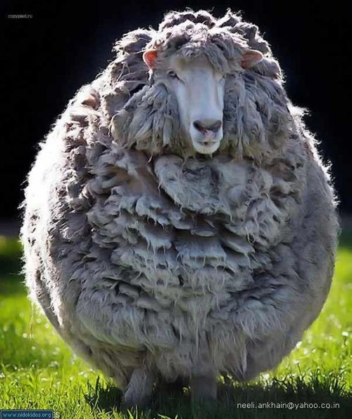 ...Ewe's Not Fat...Ewe's Just Fluffy...