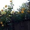 Royal Gold Climbing Rose. Planted 2013. This rose bush got Rose Rosette Disease and I had to dig it up.