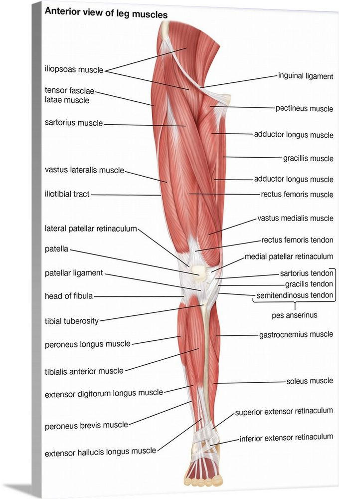 18+ Posterior view of calf muscles inspirations