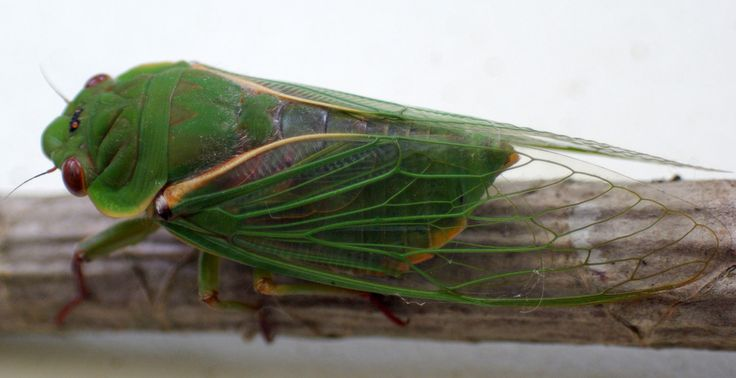 Wing deTAIL-Cicada