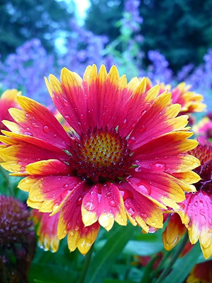 I Have This And It S Called Indian Blanket This Bloomed Twice For Me This Year Amazing Flowers Beautiful Flowers Flowers Nature