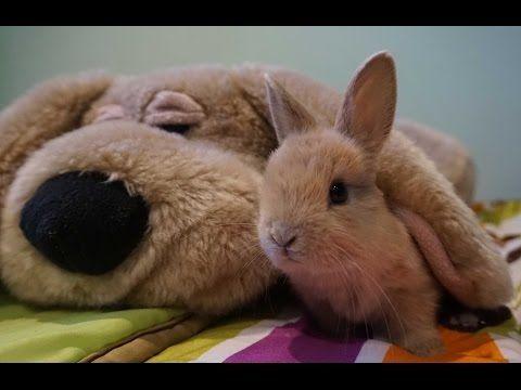 Razas de conejos con orejas caídas – DeConejos.com