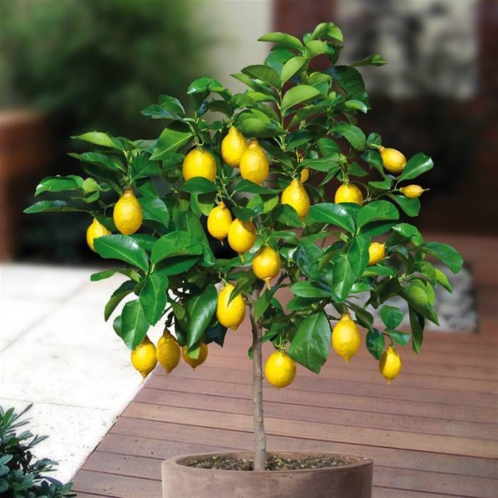 5 seeds rare bonsai lemon fruit tree seeds juicy ship - Bonsai zimmerpflanze ...