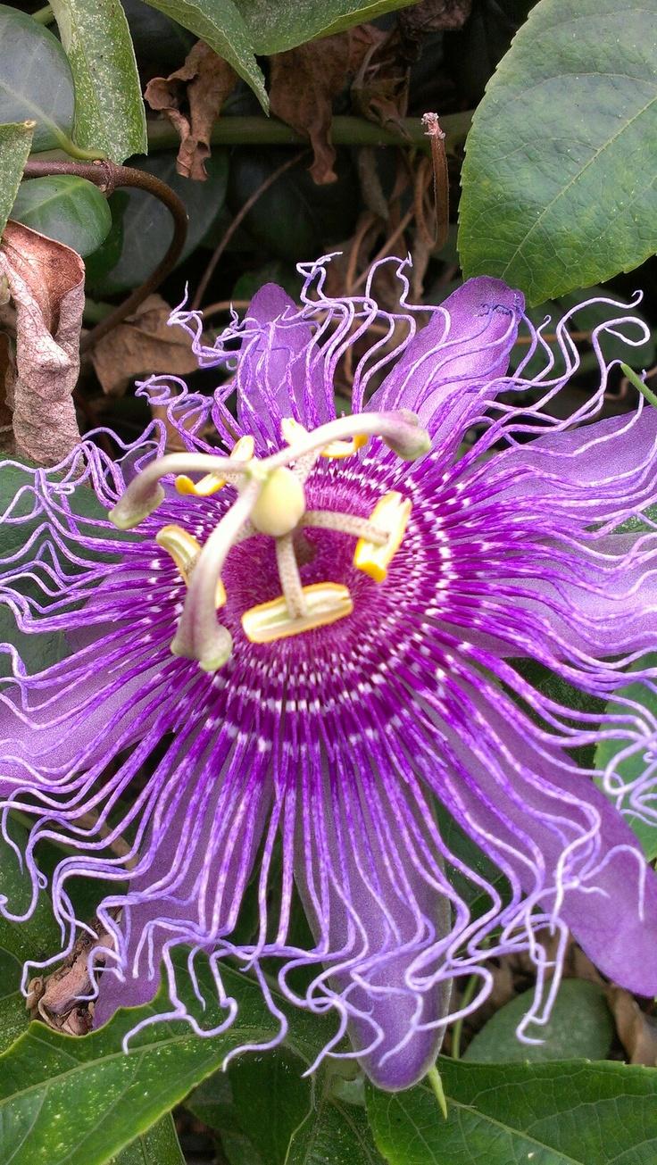 34 migliori immagini di fiori azalea su Pinterest Fiori Giardino, aiuole e fiori-5127